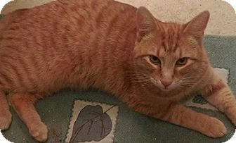 Domestic Shorthair Cat for adoption in North Highlands, California - Mydge