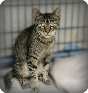 Domestic Shorthair Cat for adoption in Glen Mills, Pennsylvania - Austin