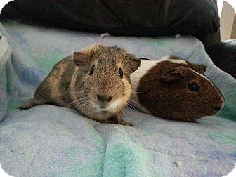 Guinea Pig for adoption in Harleysville, Pennsylvania - Jedi and Dugan