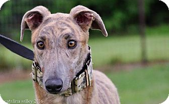Greyhound Dog for adoption in Carol Stream, Illinois - Boc's Mr Busch
