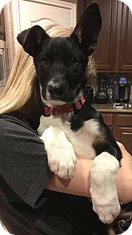 Shepherd (Unknown Type)/Labrador Retriever Mix Puppy for adoption in Austin, Texas - Titan