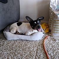 Jack Russell Terrier/Rat Terrier Mix Dog for adoption in Laguna Hills, California - Kobe