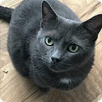 Domestic Shorthair Cat for adoption in Staten Island, New York - Margarita