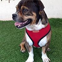 Adopt A Pet :: Papo - San Diego, CA