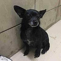 Adopt A Pet :: Estrella - Dallas, TX