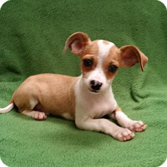 Chihuahua Mix Puppy for adoption in Allentown, Pennsylvania - Brady