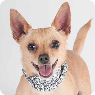 Chihuahua Mix Dog for adoption in San Francisco, California - Timone