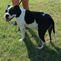 Staffordshire Bull Terrier Mix Dog for adoption in Elgin, Oklahoma - Stella