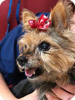Yorkie, Yorkshire Terrier Dog for adoption in Longview, Washington - Perky