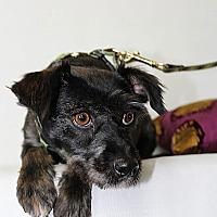 Adopt A Pet :: Brioche - Los Angeles, CA