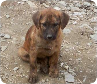 Plott Hound Mix Puppy for adoption in Highland, New York - nutella