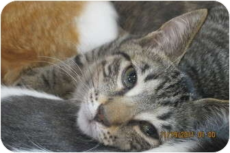 Domestic Shorthair Kitten for adoption in Sterling Hgts, Michigan - Bailey