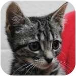 Domestic Shorthair Kitten for adoption in Wheaton, Illinois - Nutmeg