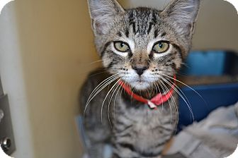 Domestic Shorthair Kitten for adoption in Edwardsville, Illinois - Ursula
