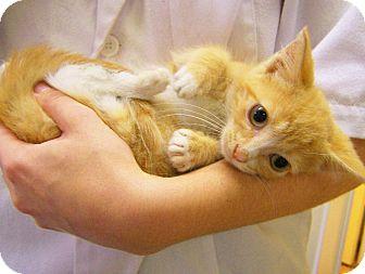 Domestic Shorthair Kitten for adoption in Toledo, Ohio - Hawkeye