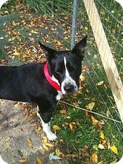 Basenji/Labrador Retriever Mix Dog for adoption in Naperville, Illinois - Sisco