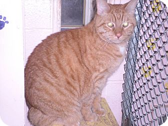 "Domestic Shorthair Cat for adoption in New Castle, Pennsylvania - "" Peanut """
