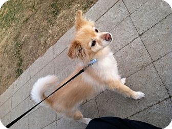 Pomeranian Mix Dog for adoption in Meridian, Idaho - Soldier