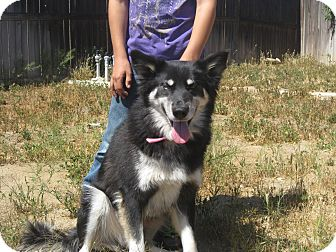 Husky/Shepherd (Unknown Type) Mix Dog for adoption in Temecula, California - Girl