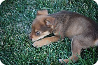 Husky/Manchester Terrier Mix Puppy for adoption in Oakley, California - Baby Kenai