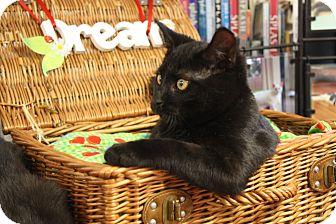 Domestic Shorthair Cat for adoption in Huntsville, Alabama - Felix