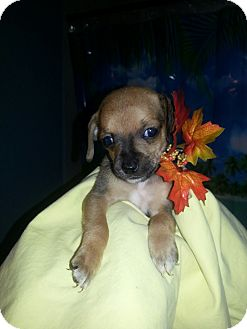 Chihuahua Mix Puppy for adoption in Ocean Ridge, Florida - Titan
