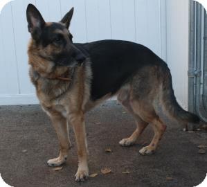 German Shepherd Dog Dog for adoption in West Des Moines, Iowa - Finnley