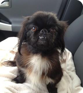Shih Tzu/Yorkie, Yorkshire Terrier Mix Dog for adoption in Homewood, Alabama - Buddy