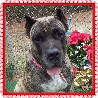 Presa Canario Dog for adoption in Marietta, Georgia - JEWEL