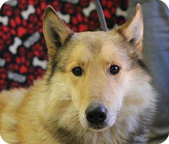 Collie/Husky Mix Dog for adoption in Roosevelt, Utah - Popeye