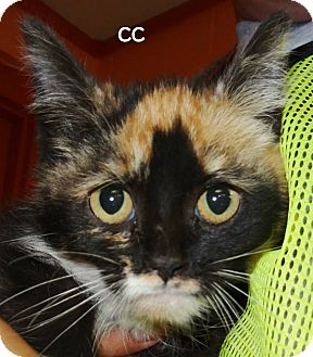 Calico Kitten for adoption in Lapeer, Michigan - CC--STANDS FOR CUTE CALICO!!??