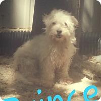 Adopt A Pet :: Prince - Pflugerville, TX