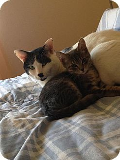 Domestic Shorthair Cat for adoption in Satellite Beach, Florida - Uno