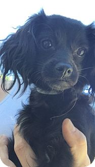 Chihuahua/Spaniel (Unknown Type) Mix Dog for adoption in San Diego, California - Selma