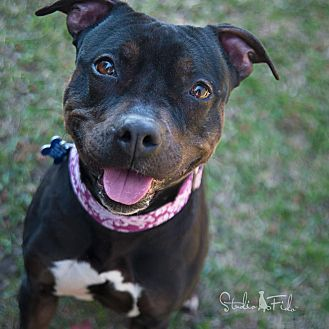 American Pit Bull Terrier Mix Dog for adoption in Farmington Hills, Michigan - Midnight