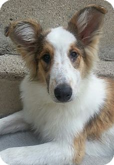 Collie Dog for adoption in Chicago, Illinois - Ashley*ADOPTED!*