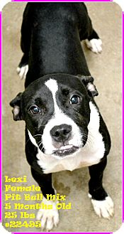 Pit Bull Terrier Mix Puppy for adoption in Beaumont, Texas - Lexi