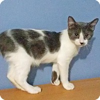 Adopt A Pet :: Gumbo blue & white - McDonough, GA