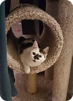 Domestic Mediumhair Cat for adoption in Tega Cay, South Carolina - Mindy