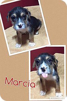 Cairn Terrier/Yorkie, Yorkshire Terrier Mix Puppy for adoption in Scottsdale, Arizona - Marcia