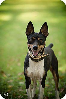 Rat Terrier Mix Dog for adoption in Daleville, Alabama - Lightning