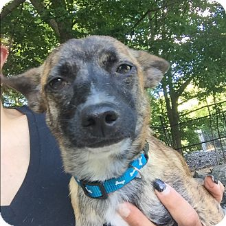 Chihuahua Mix Dog for adoption in Middlebury, Connecticut - Marla