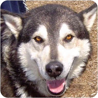 Siberian Husky Mix Dog for adoption in Various Locations, Indiana - T-Bone