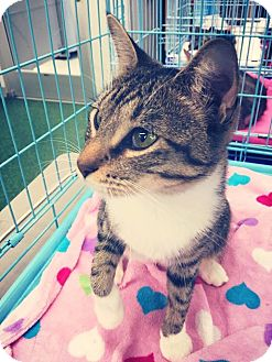 Domestic Mediumhair Cat for adoption in Mansfield, Texas - Tina