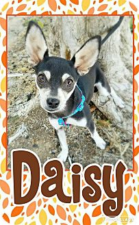 Chihuahua Mix Puppy for adoption in Edwards AFB, California - Daisy