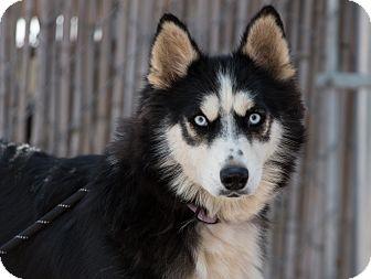 Siberian Husky Dog for adoption in Cedar Crest, New Mexico - Breezy