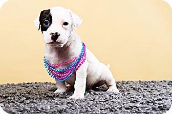 Labrador Retriever/Dalmatian Mix Puppy for adoption in Houston, Texas - Klondike
