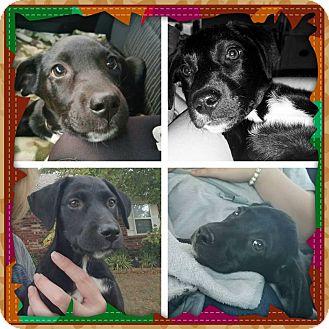 Labrador Retriever Puppy for adoption in Broken Arrow, Oklahoma - Tori