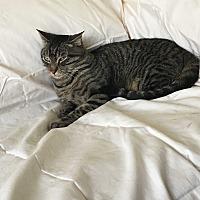Domestic Shorthair Cat for adoption in San Dimas, California - Seth
