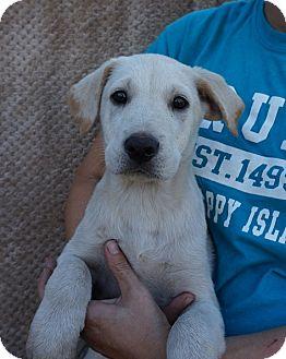 Labrador Retriever/Golden Retriever Mix Puppy for adoption in Oviedo, Florida - Rusty